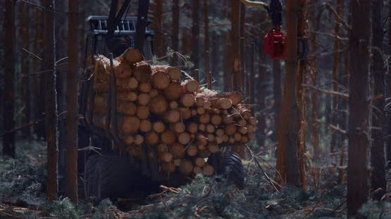 A loader of logs, lifts the cut timber and loads them into a trailer.