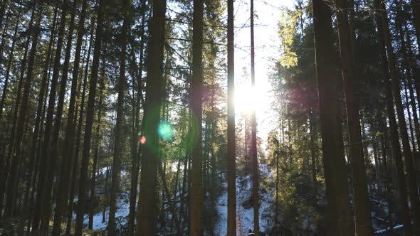 Thumbnail for Warm Sunbeams Illuminates Pinery Plants in Winter. Sunlight Breaks Through Trees in Early Morning