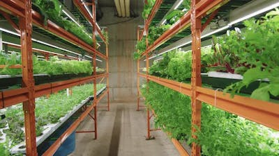 Plants Growing In Vertical Farm