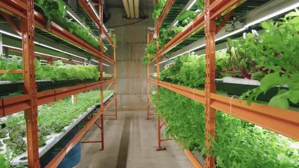 Plants Growing In Vertical Farm