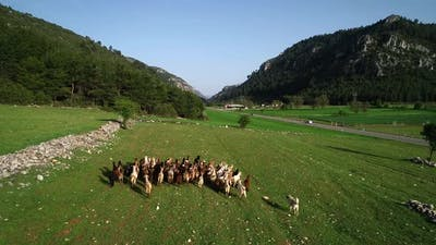 Herd Of Goats At Nature