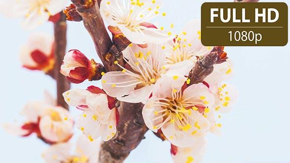 Thumbnail for Apricot Flower Blossom
