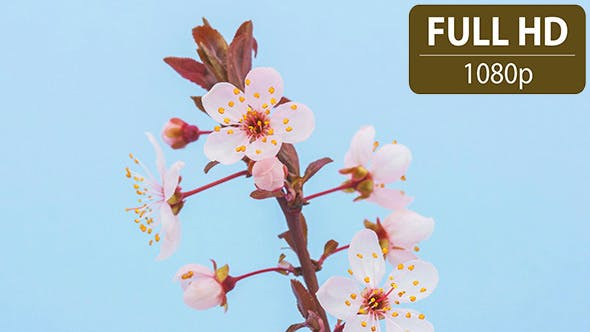 Thumbnail for Wild Plum Flower
