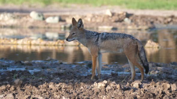 Thumbnail for Black-backed jackal walking around a water pool