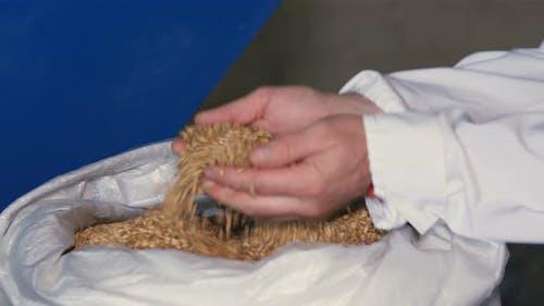 Employee Examining the Barley at Brewery Factory.