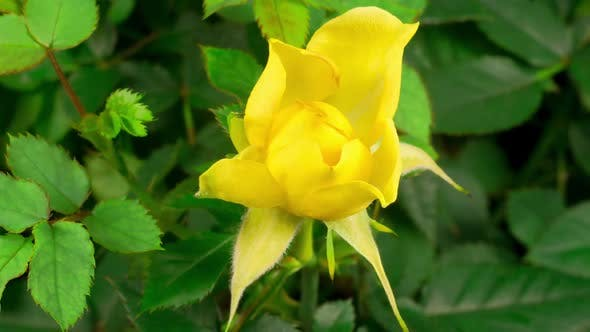 Thumbnail for Time Lapse of Growth and Wither Yellow Rose Flower