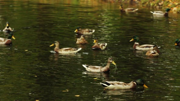 Thumbnail for Ducks Swimming on The Forest Lake