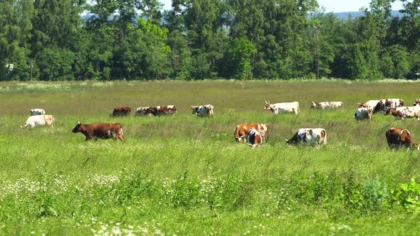 Thumbnail for Cows Grazing on Pasture
