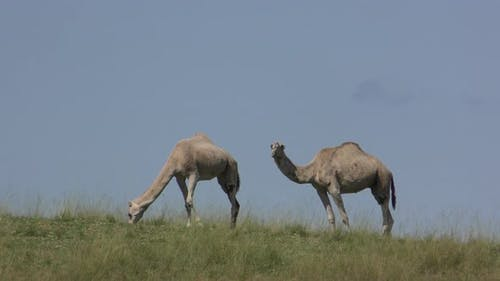 Dromedary Camel Adult Pair Eating Chewing Introduced