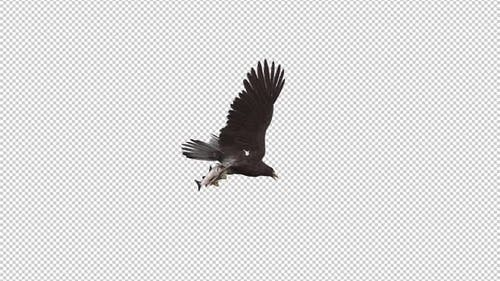 Eurasian White Tail Eagle With Fish - Flying Loop - Down Angle