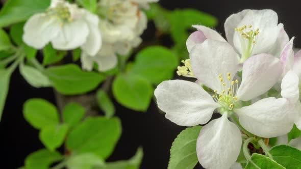 Thumbnail for Apple Flower Blossom on Black 2
