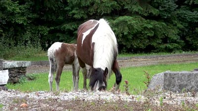 Horses Visiting Garden in Ireland  Mare and Freshly Born Baby Horse