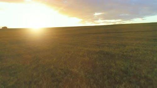 Flug über ländlicher Sommerlandschaft mit endlosem Gelben Feld am sonnigen Sommerabend. Landwirtschaftlich