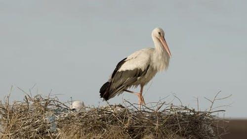 White Stork Clapping It's Beak