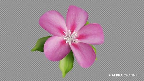 Blooming Flower / Pink