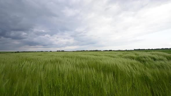Thumbnail for Green Rye Field Against the Cloudy Sky