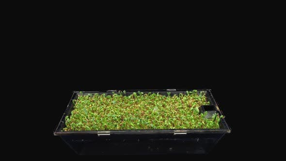 Thumbnail for Time-lapse of germinating microgreens red clover seads