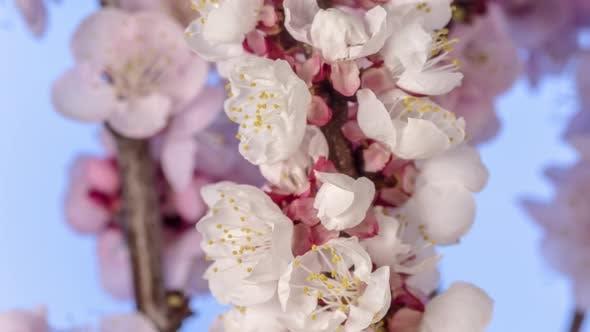 Thumbnail for Apricot Fruit Flower Timelapse on Blue 2