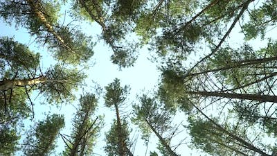 Low Angle Shot of Pine Trees Forest