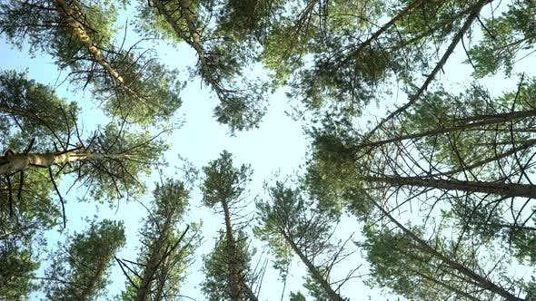 Thumbnail for Low Angle Shot of Pine Trees Forest