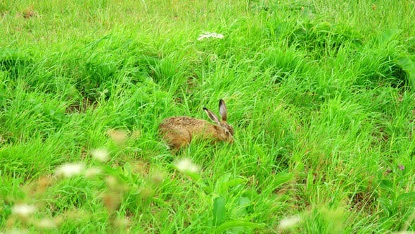 Thumbnail for Hare in Green Grass