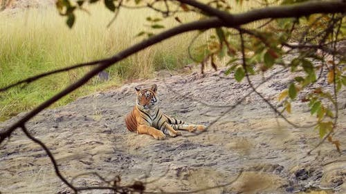 Bengal Tiger Is a Panthera Tigris Population Native To the Indian Subcontinent