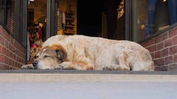 Cover Image for Christmas Shopping Background. Beautiful Dog Sleeping Near Glass Entrance Door. Busy City and Animal