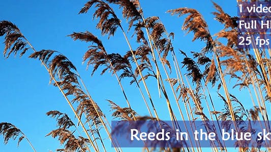 Thumbnail for Reeds in the Blue Sky