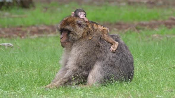 Thumbnail for Barbary ape with a baby on his back