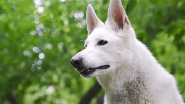 Cover Image for Berger Blanc Suisse or White Swiss Shepherd, Domestic Dog,