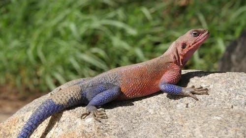 Orange and blue agama lizard sits on grey stone in Serengeti national parkTanzan