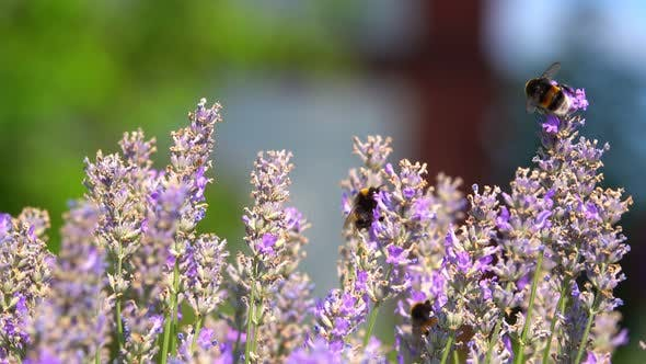 Thumbnail for Purple Flowers And Insects Bee 2