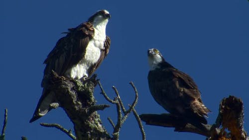 Osprey Adult Pair Perched in Spring in South Dakota United States