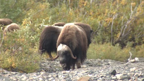 Musk Ox Herd Many Walking Moving in Autumn Gravel Bed Bar in Alaska