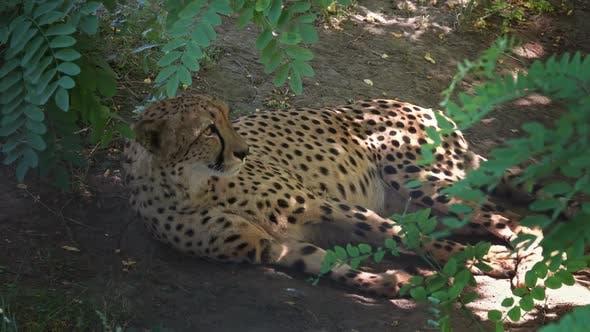 Thumbnail for Lying Jaguar Portrait