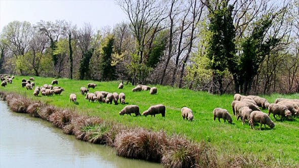 Thumbnail for Flock of Sheep Grazing on Banks of River