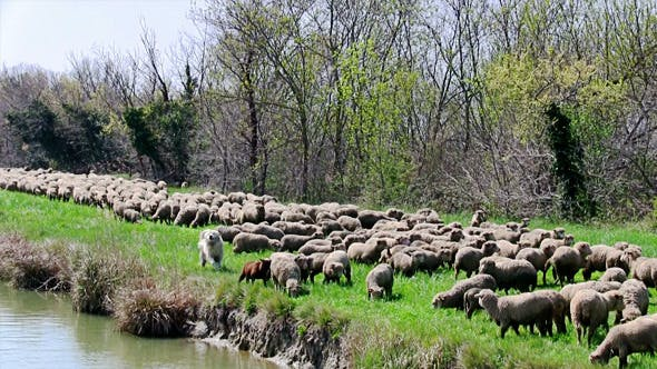 Thumbnail for Flock of Sheep Grazing on Banks of the River