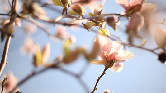 Thumbnail for Sliding Around Blooming Magnolia