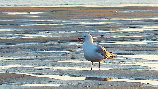 Thumbnail for Seagull