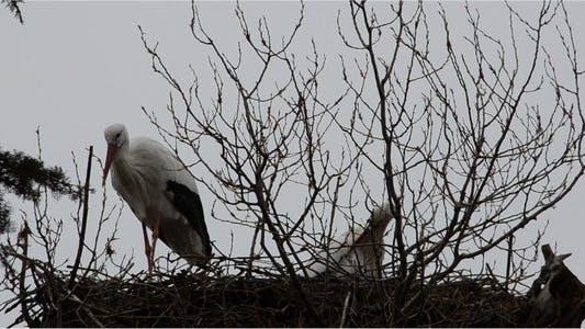 Thumbnail for Stork