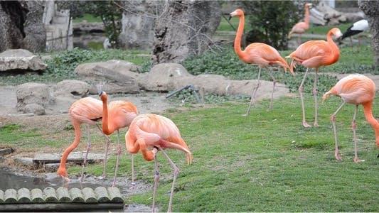 Thumbnail for Flamingo