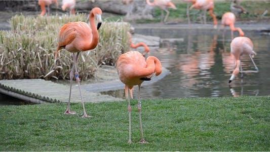 Thumbnail for Flamingo 6
