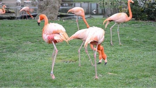 Thumbnail for Flamingo 7