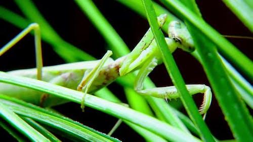 A Female Praying Mantis During a Night Hunt a Soft Closeup Shot of a Vietnamese Praying Mantis