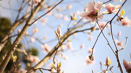 Cover Image for Sliding Around Blooming Magnolia 2