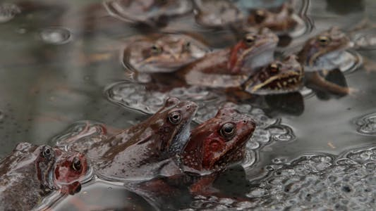 Frogs In A Puddle During The Breeding Season
