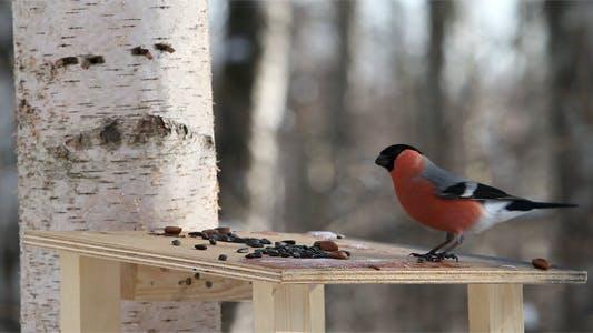 Thumbnail for Bullfinches