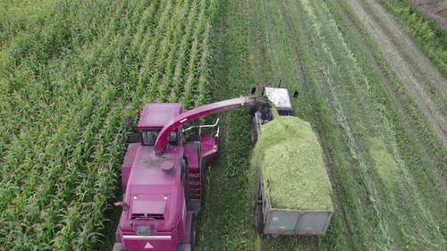 Forage Harvester Cutting Corn and Loading Raw Materials Into the Trailer