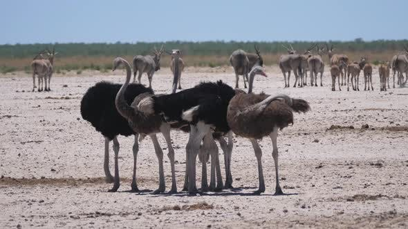 Group of ostrich on a dry savanna