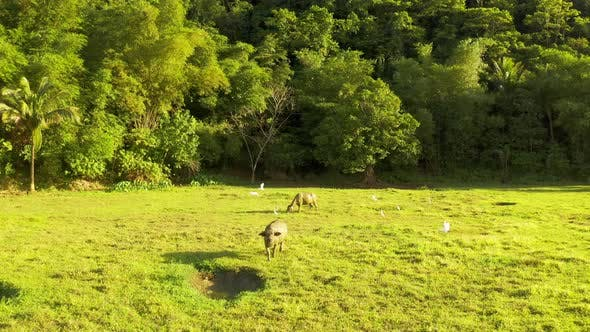 Cover Image for Tropical Countryside with Green Forest, Field and Buffalo. Carabao Bull in Sunny Landscape